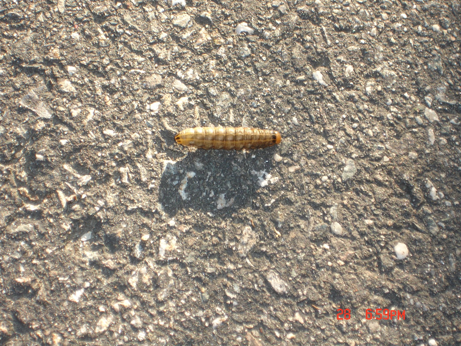 Caterpillars and Pupa Archives - Page 8 of 451 - Whats
